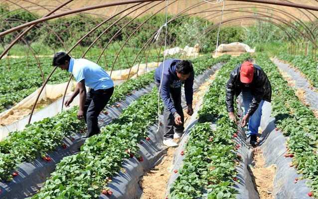Ματωμένες φράουλες της Μανωλάδας: Στο αρχείο η μήνυση 120 αλλοδαπών εναντίον του ιδιοκτήτη